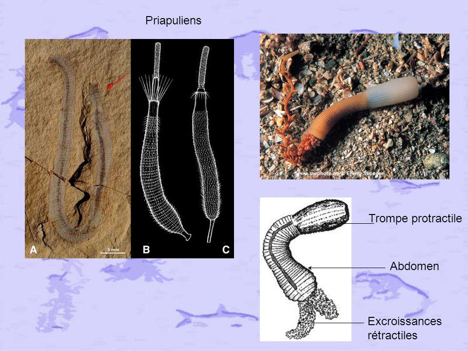Priapuliens Trompe protractile Abdomen Excroissances rétractiles