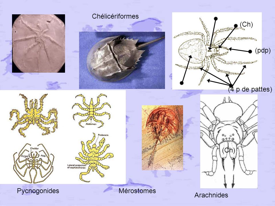 Chélicériformes (Ch) (pdp) (4 p de pattes) (Ch) Pycnogonides