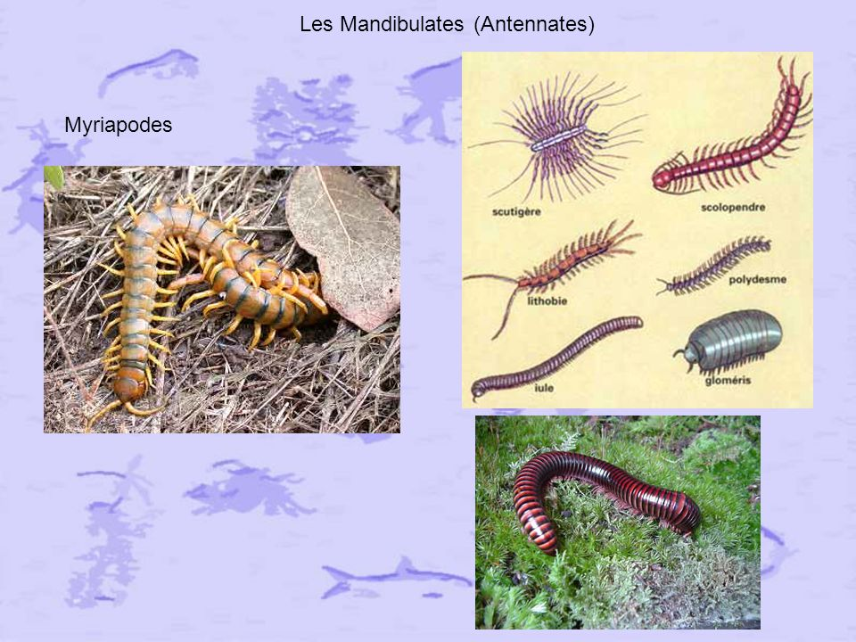 Les Mandibulates (Antennates)