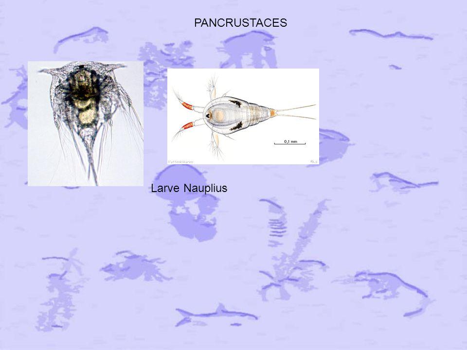 PANCRUSTACES Larve Nauplius