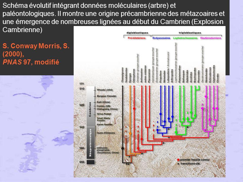 Schéma évolutif intégrant données moléculaires (arbre) et paléontologiques. Il montre une origine précambrienne des métazoaires et une émergence de nombreuses lignées au début du Cambrien (Explosion Cambrienne) S. Conway Morris, S.