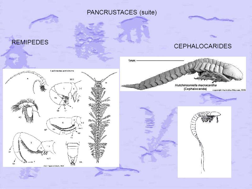 PANCRUSTACES (suite) REMIPEDES CEPHALOCARIDES