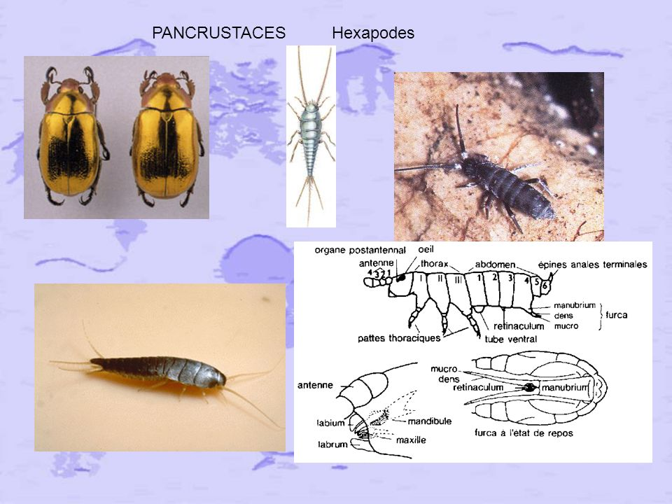 PANCRUSTACES Hexapodes