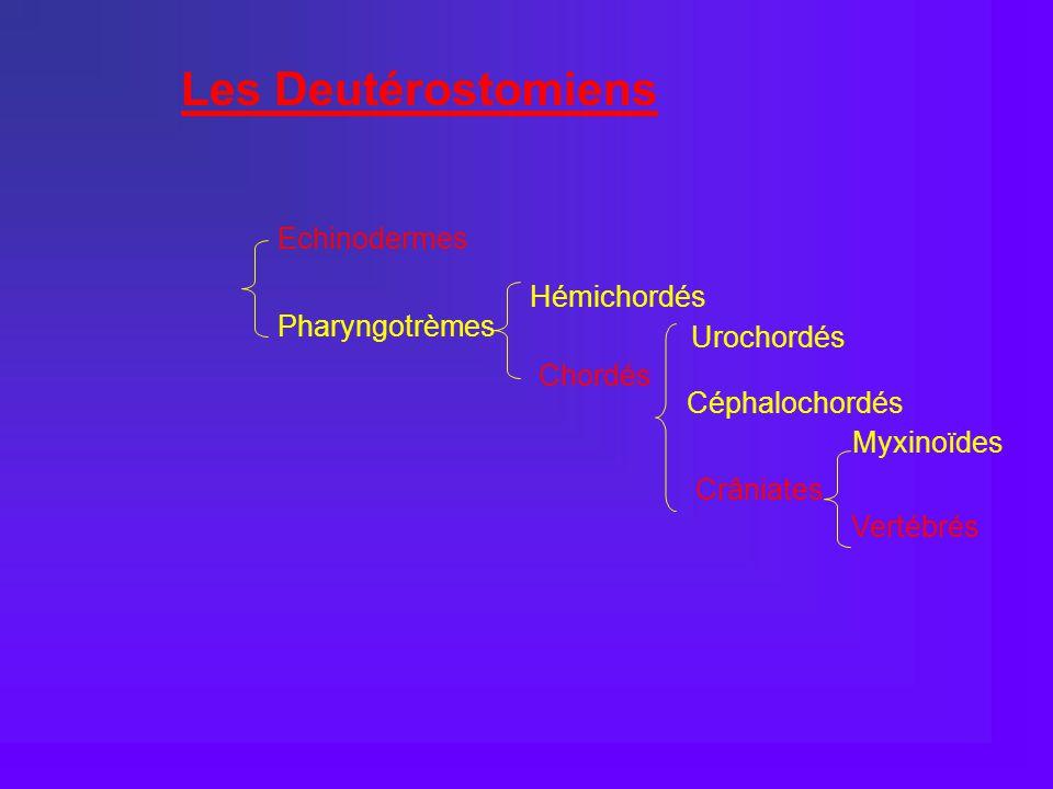 Les Deutérostomiens Echinodermes Hémichordés Pharyngotrèmes Urochordés
