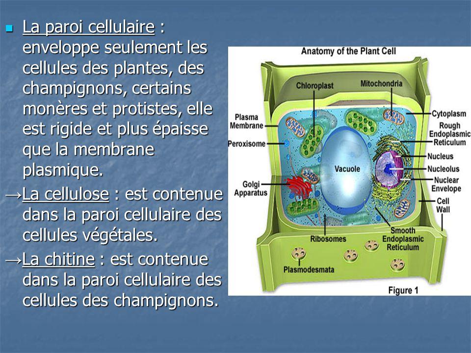 La paroi cellulaire : enveloppe seulement les cellules des plantes, des champignons, certains monères et protistes, elle est rigide et plus épaisse que la membrane plasmique.