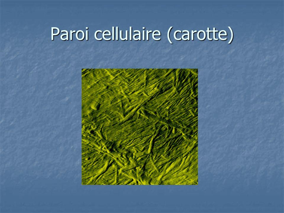 Paroi cellulaire (carotte)