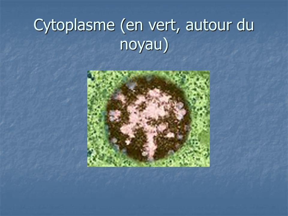 Cytoplasme (en vert, autour du noyau)