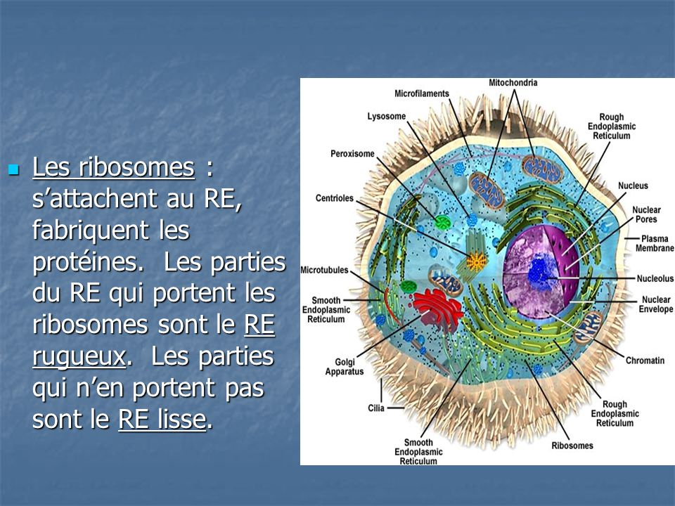 Les ribosomes : s'attachent au RE, fabriquent les protéines