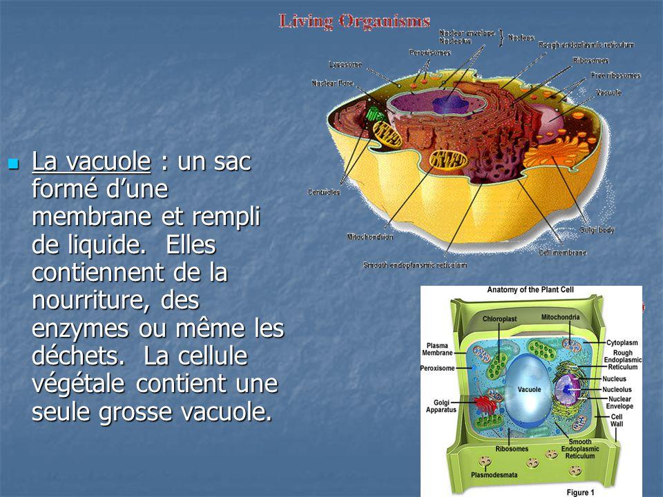 La vacuole : un sac formé d'une membrane et rempli de liquide