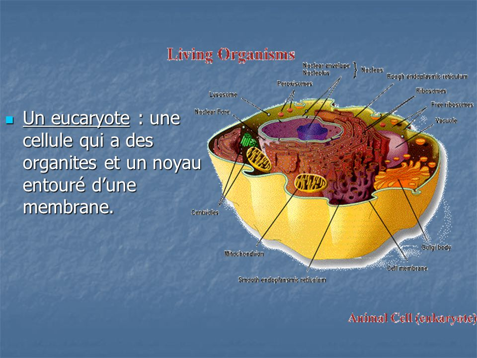 Un eucaryote : une cellule qui a des organites et un noyau entouré d'une membrane.
