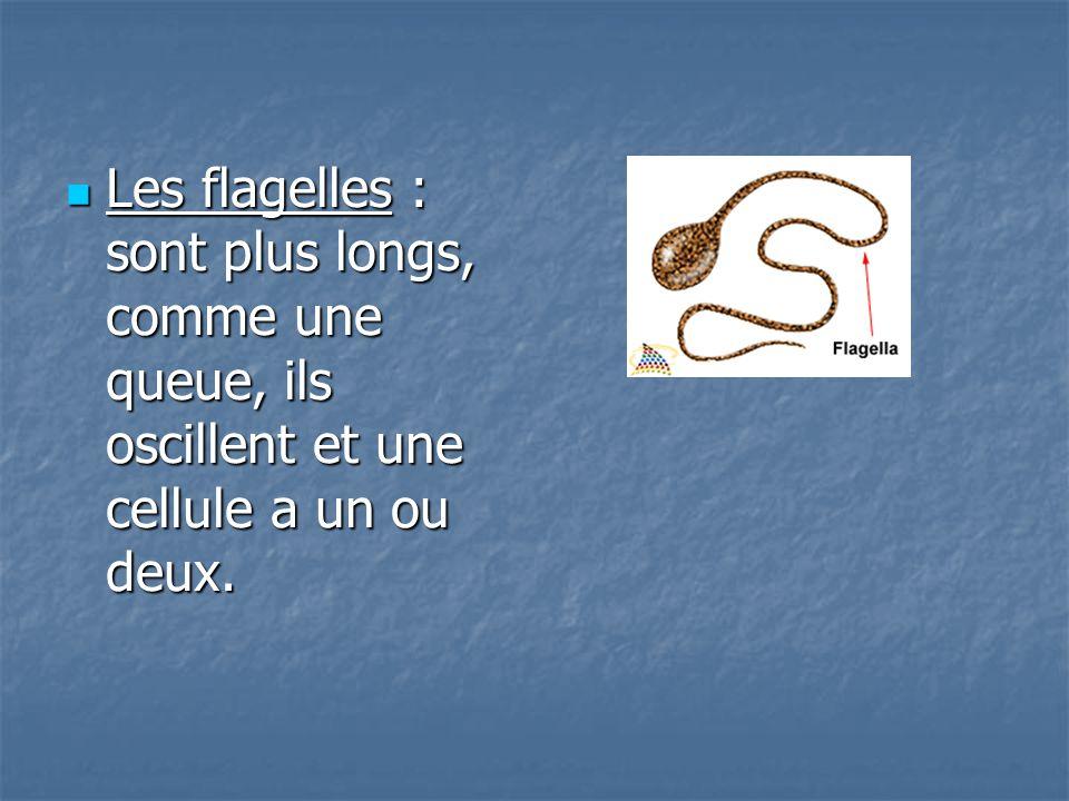 Les flagelles : sont plus longs, comme une queue, ils oscillent et une cellule a un ou deux.