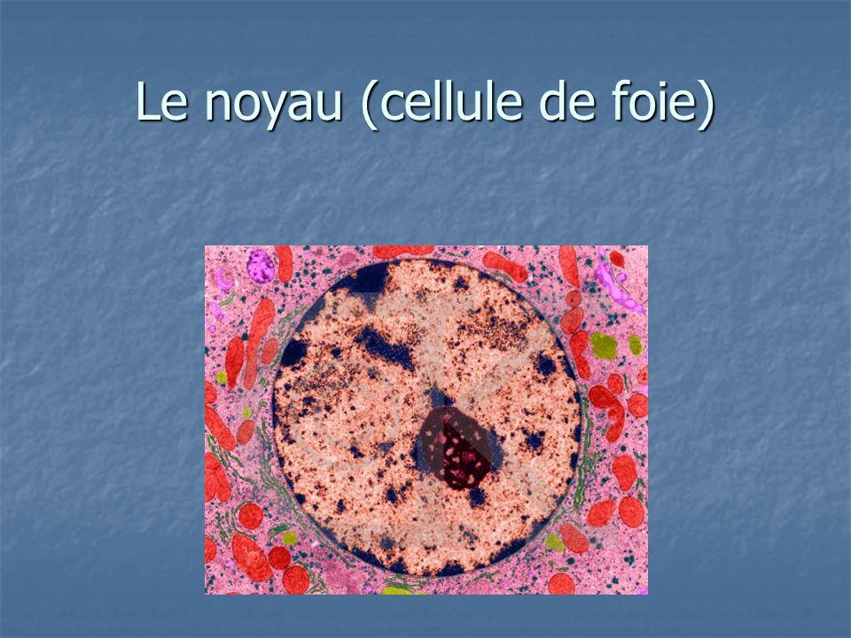 Le noyau (cellule de foie)
