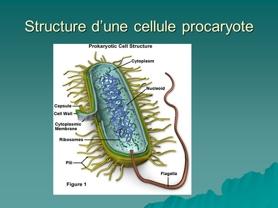 Structure d'une cellule procaryote