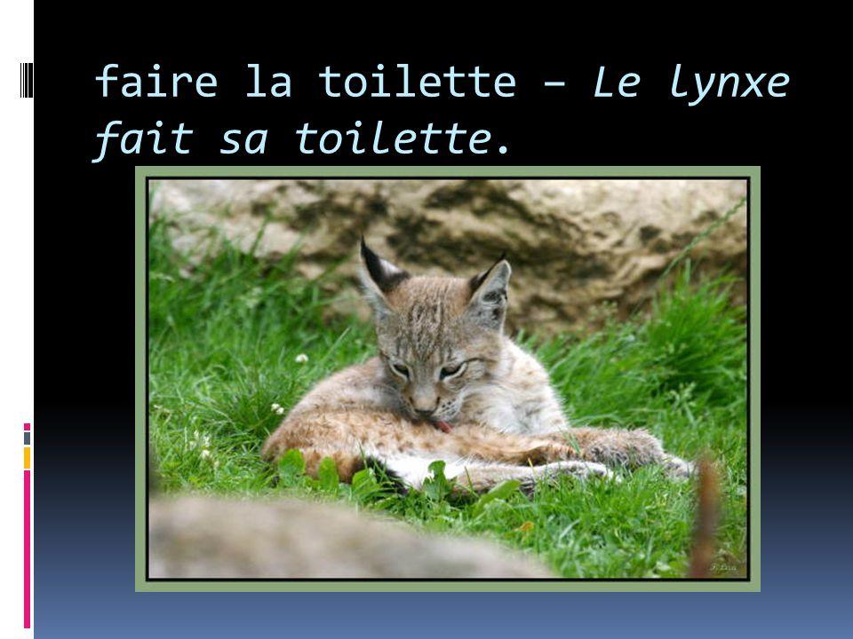 faire la toilette – Le lynxe fait sa toilette.