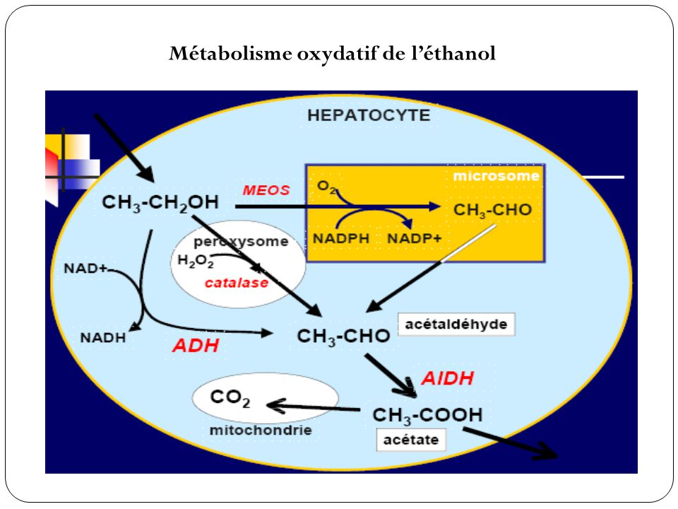 Métabolisme oxydatif de l'éthanol