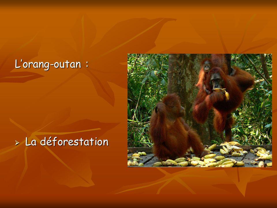 L'orang-outan : La déforestation