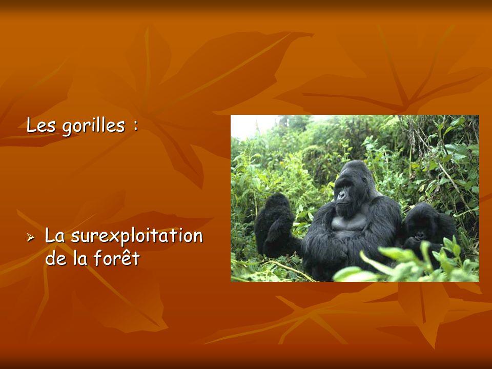 Les gorilles : La surexploitation de la forêt