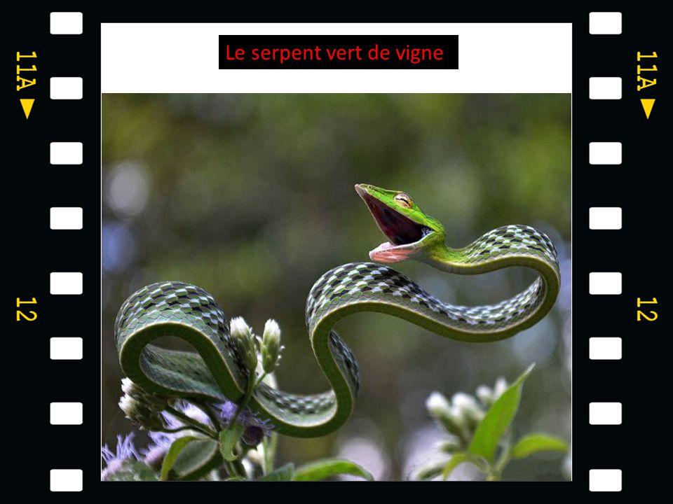 Le serpent vert de vigne