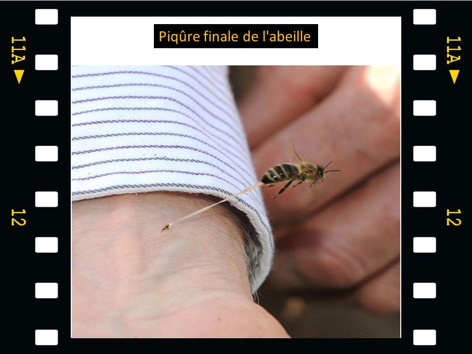 Piqûre finale de l abeille