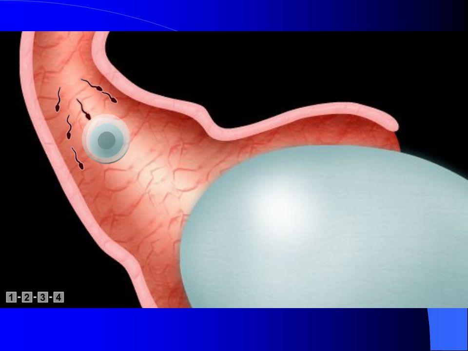 Les spermatozoïdes comme je l'ai déjà dit ont fait l'ascension dans toute le trompe de Fallope ils arrivent au niveau de l'ovocyte II