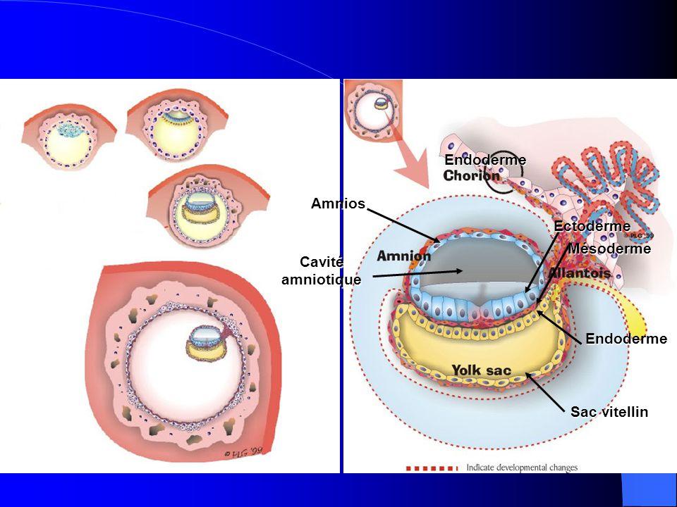 Endoderme Amnios Ectoderme Mésoderme Cavité amniotique Endoderme