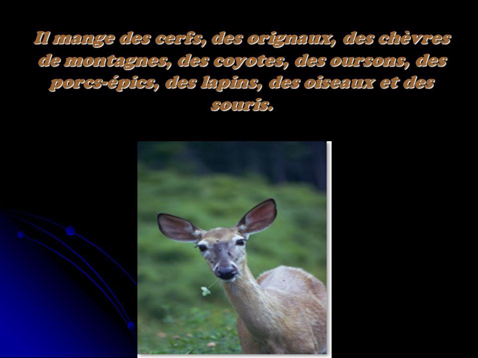 Il mange des cerfs, des orignaux, des chèvres de montagnes, des coyotes, des oursons, des porcs-épics, des lapins, des oiseaux et des souris.