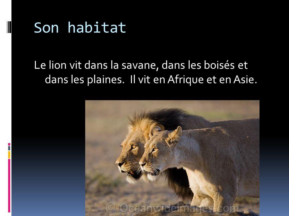 Son habitat Le lion vit dans la savane, dans les boisés et dans les plaines.