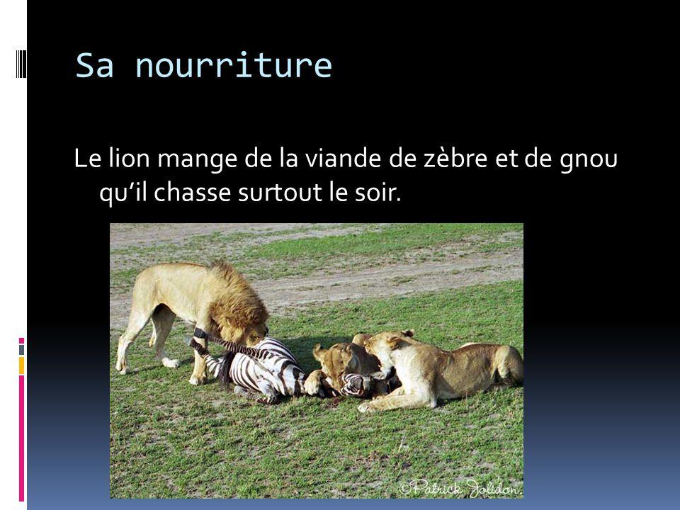 Sa nourriture Le lion mange de la viande de zèbre et de gnou qu'il chasse surtout le soir.