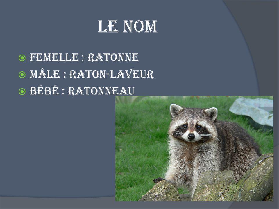 Le nom Femelle : Ratonne Mâle : Raton-laveur Bébé : ratonneau
