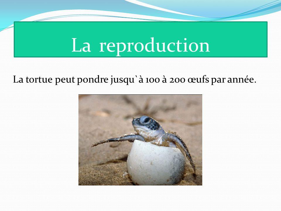 La reproduction La tortue peut pondre jusqu`à 100 à 200 œufs par année.