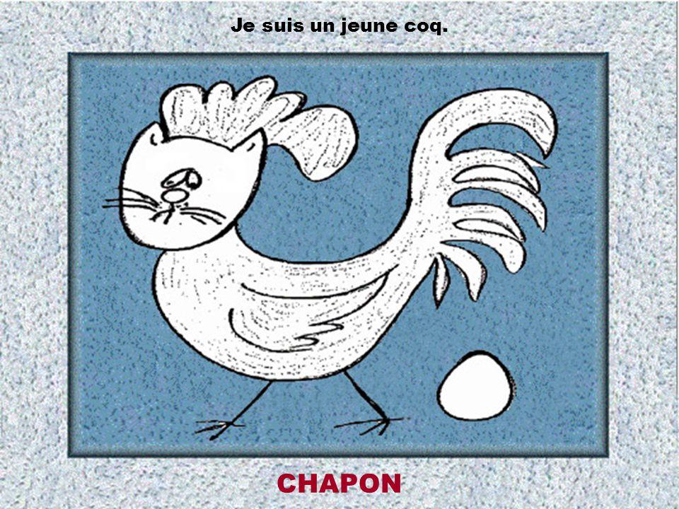 Je suis un jeune coq. CHAPON