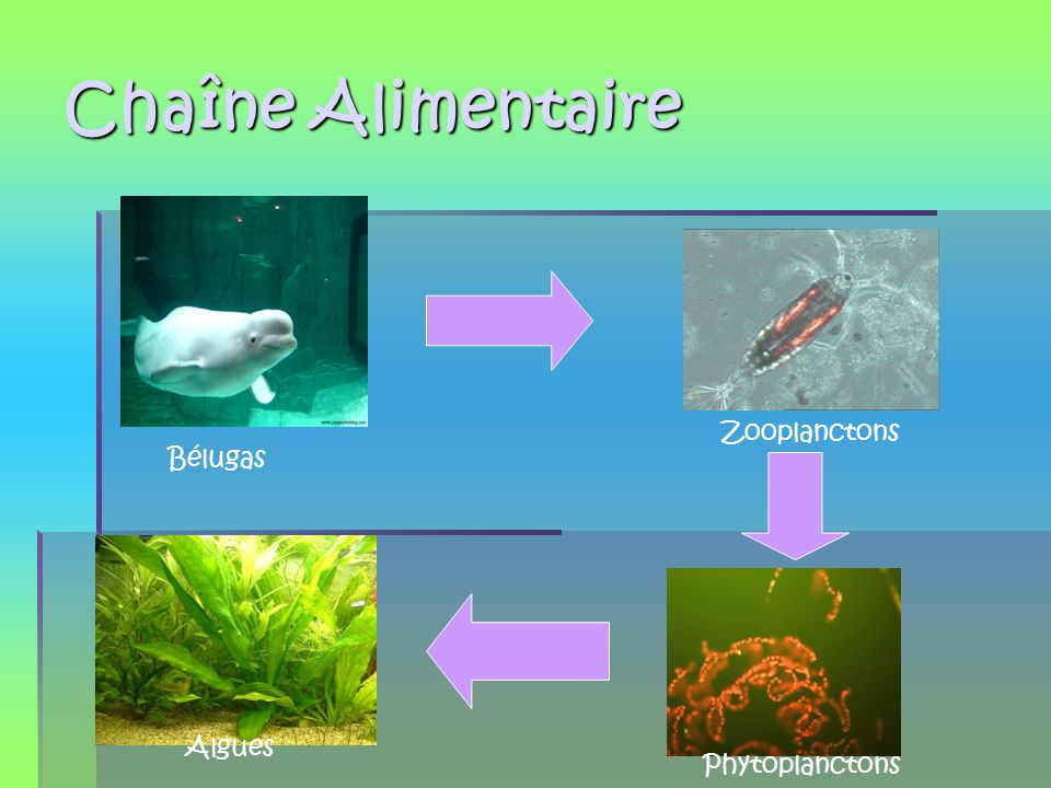 Chaîne Alimentaire Zooplanctons Bélugas Algues Phytoplanctons