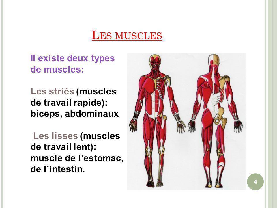 Les muscles Il existe deux types de muscles: