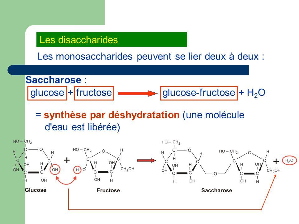 Les disaccharides Les monosaccharides peuvent se lier deux à deux : Saccharose : glucose + fructose.