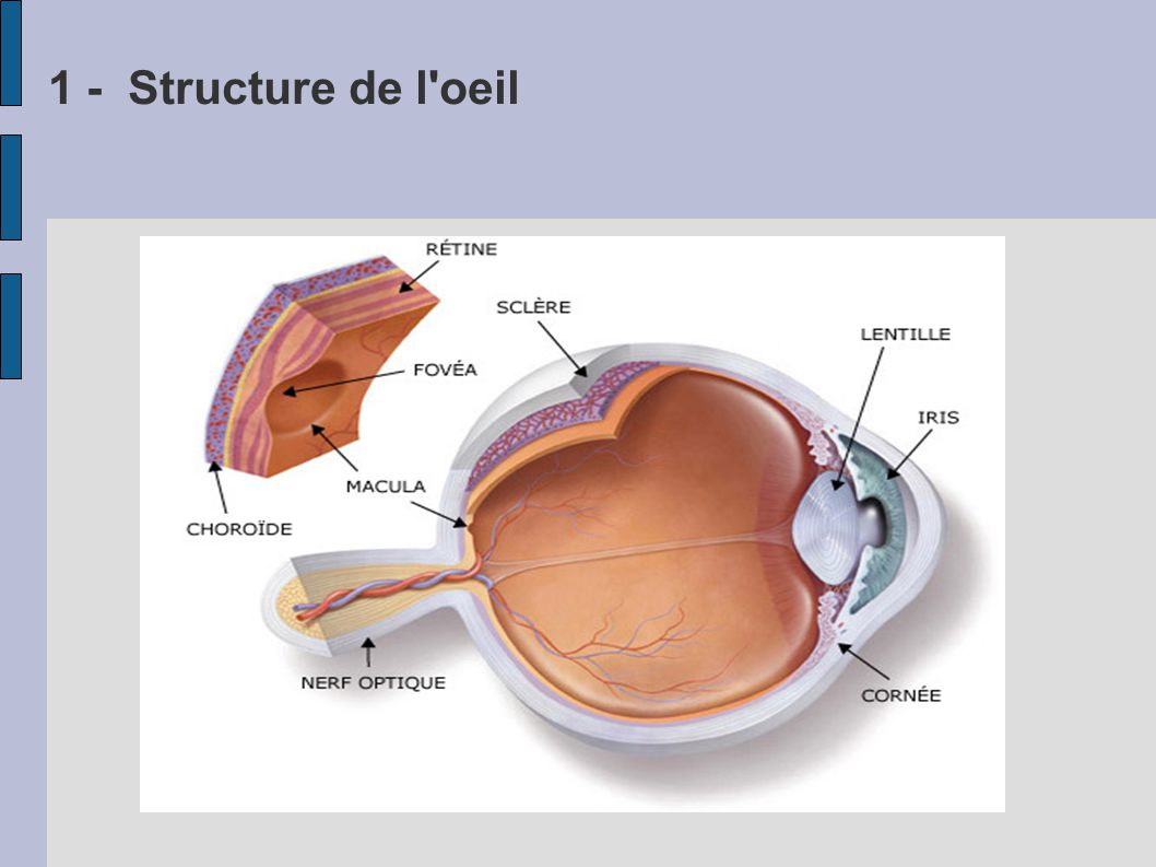 1 - Structure de l oeil