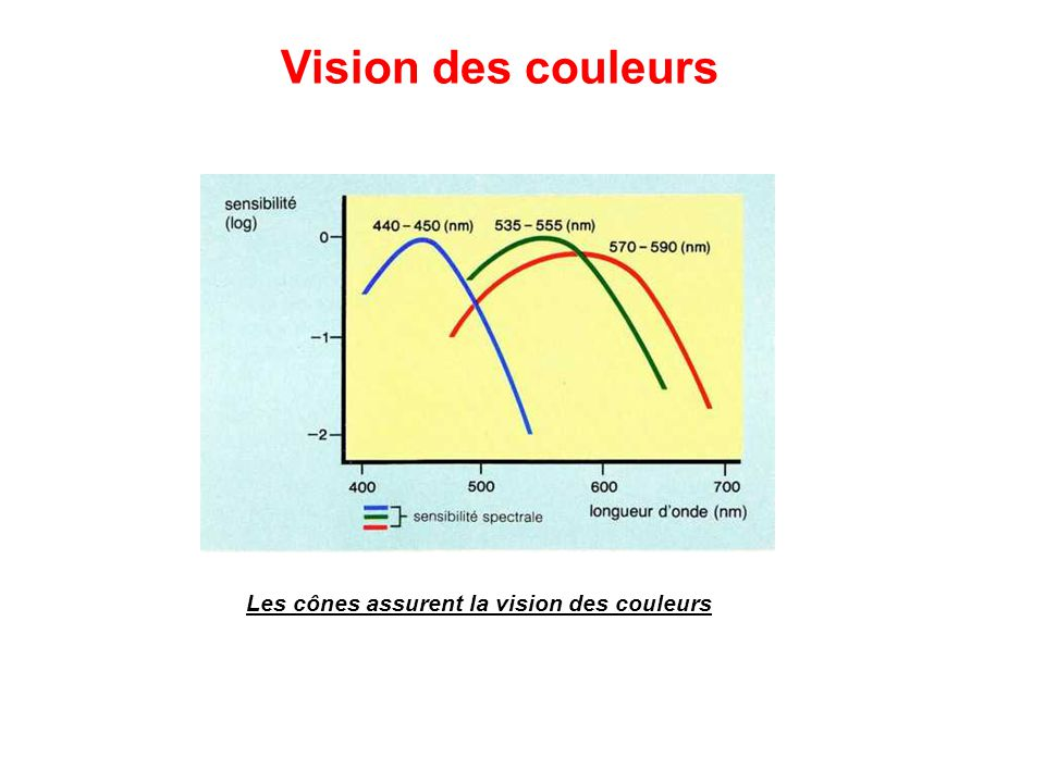 Vision des couleurs Les cônes assurent la vision des couleurs