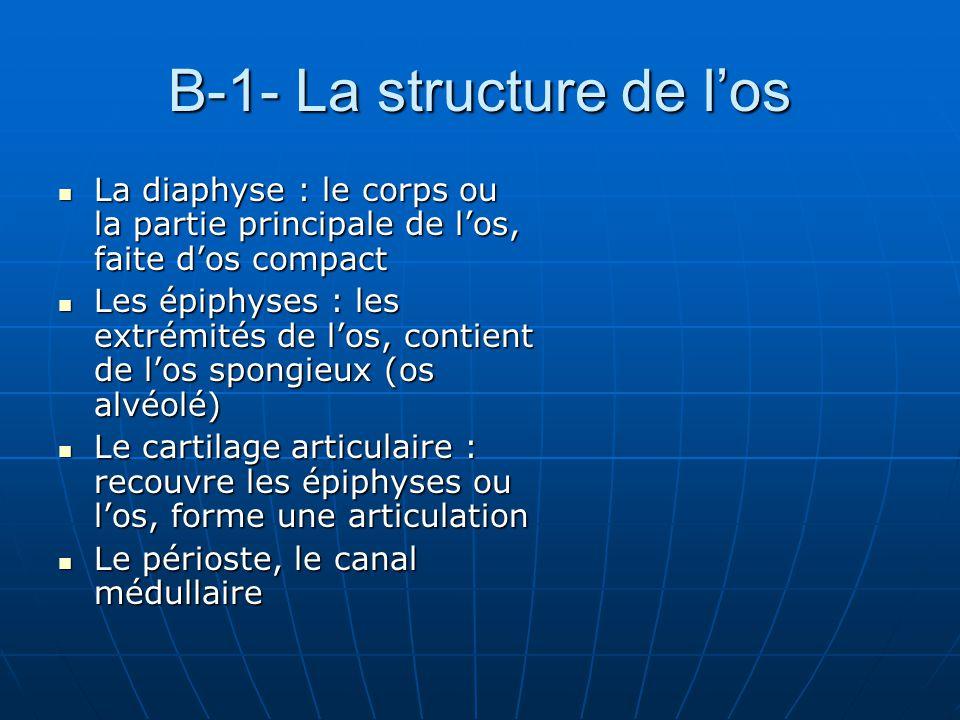 B-1- La structure de l'os