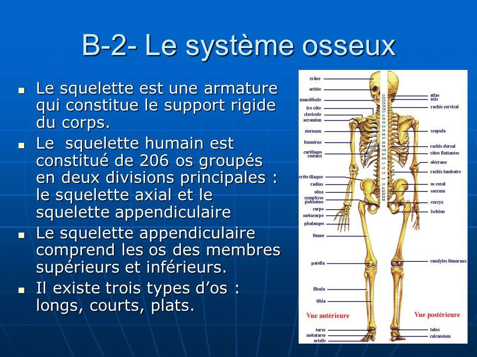 B-2- Le système osseux Le squelette est une armature qui constitue le support rigide du corps.