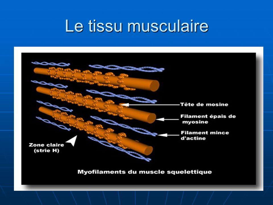 Le tissu musculaire