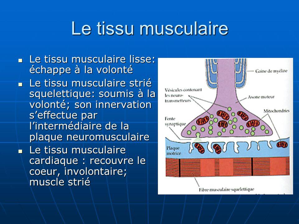 Le tissu musculaire Le tissu musculaire lisse: échappe à la volonté