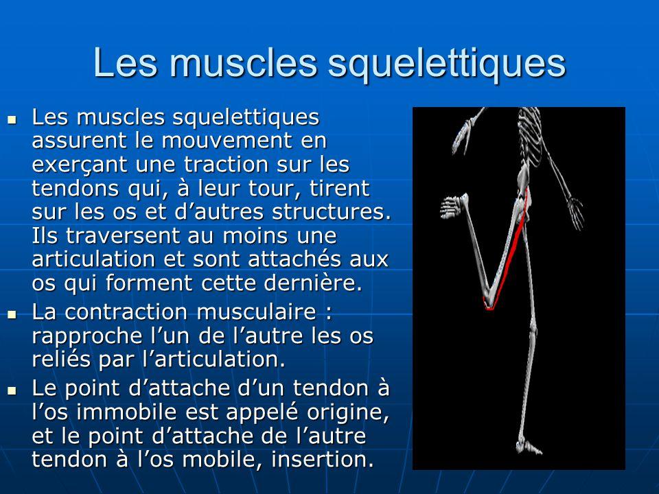 Les muscles squelettiques