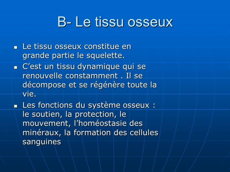 B- Le tissu osseux Le tissu osseux constitue en grande partie le squelette.