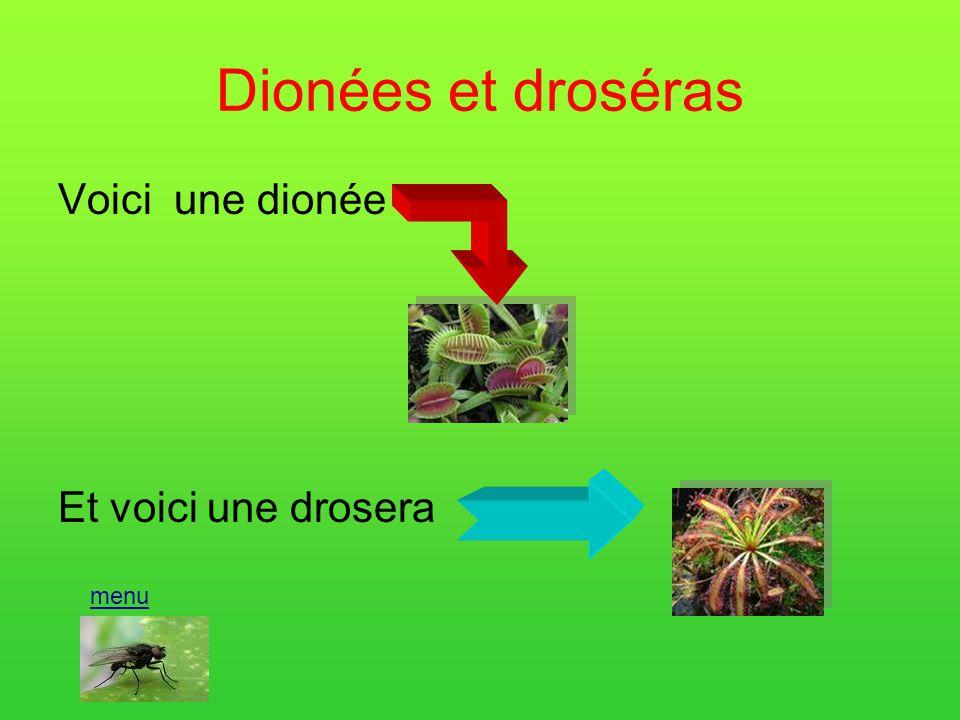 Dionées et droséras Voici une dionée Et voici une drosera menu
