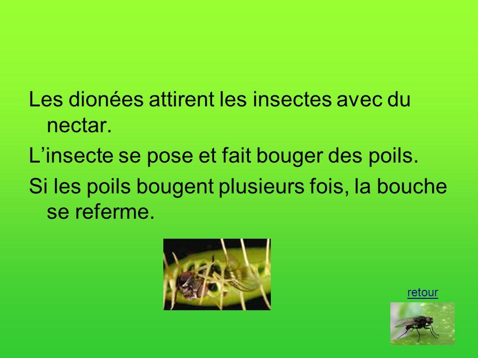 Les dionées attirent les insectes avec du nectar.