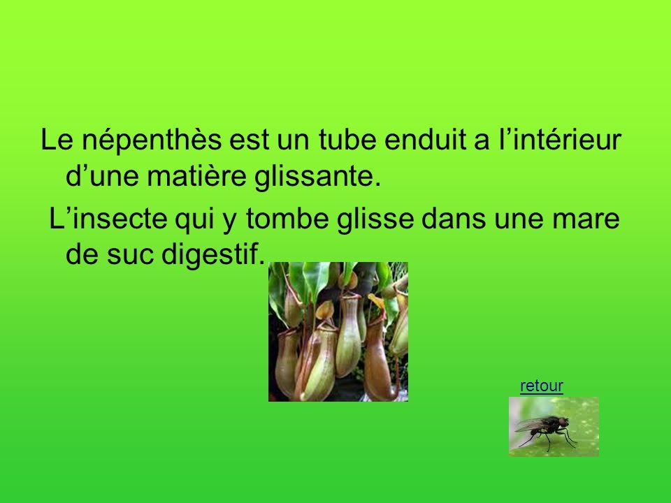 Le népenthès est un tube enduit a l'intérieur d'une matière glissante.
