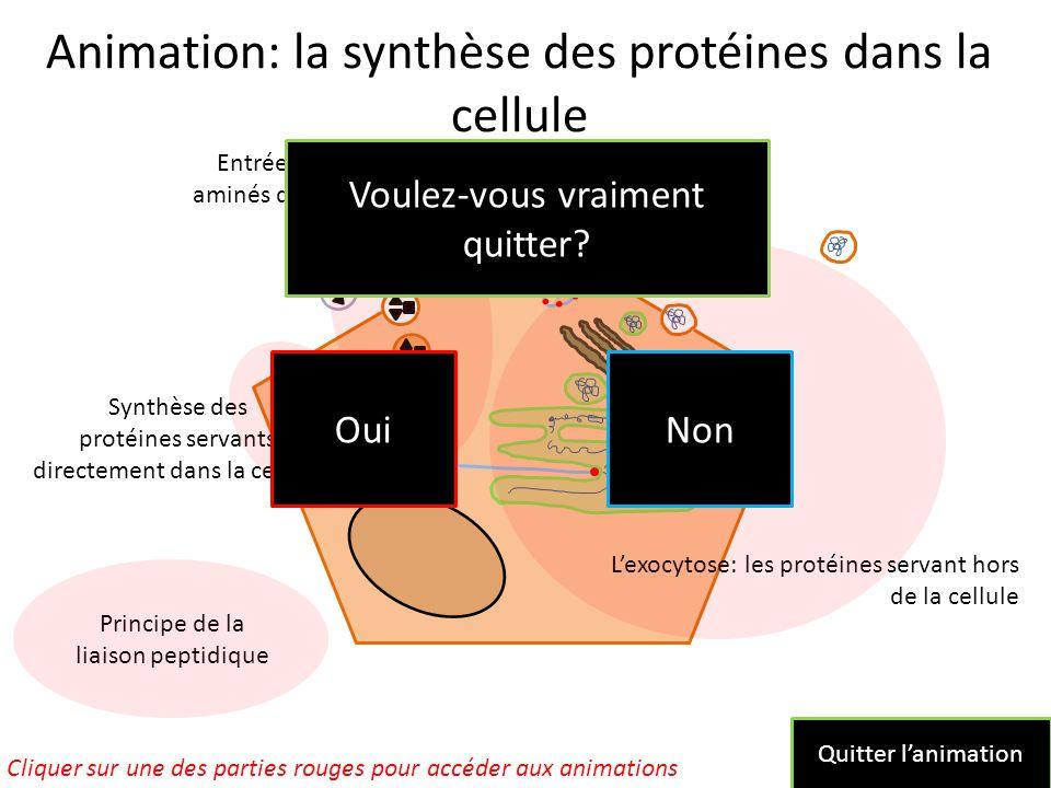Animation: la synthèse des protéines dans la cellule