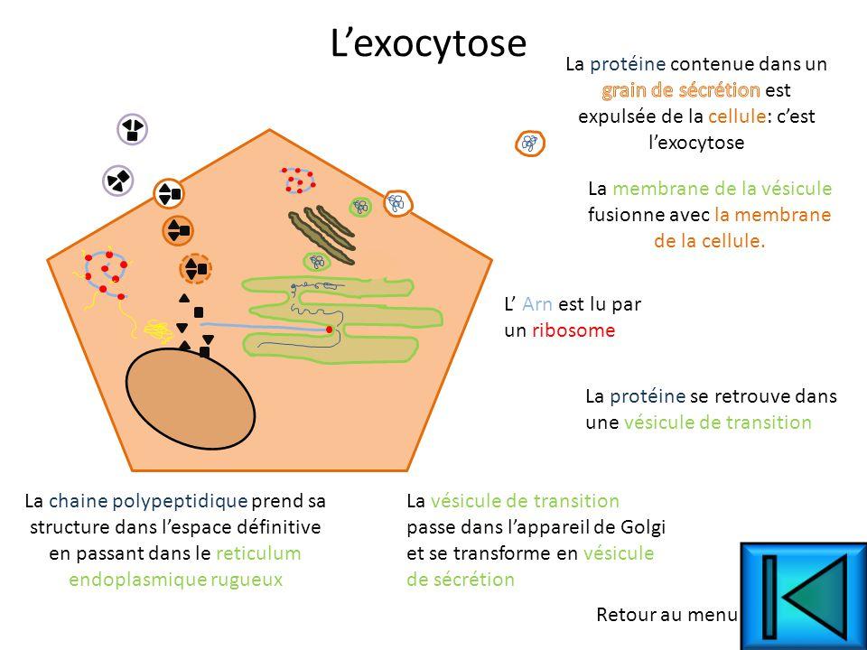 La membrane de la vésicule fusionne avec la membrane de la cellule.