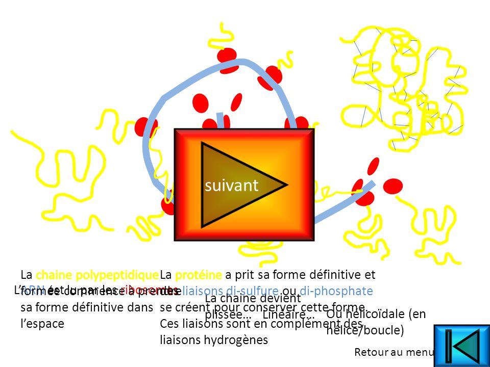 L'ARN est lu par les ribosomes La chaine devient plissée… Linéaire…