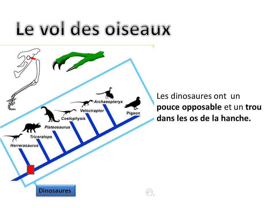 Le vol des oiseaux Les dinosaures ont un pouce opposable et un trou dans les os de la hanche.