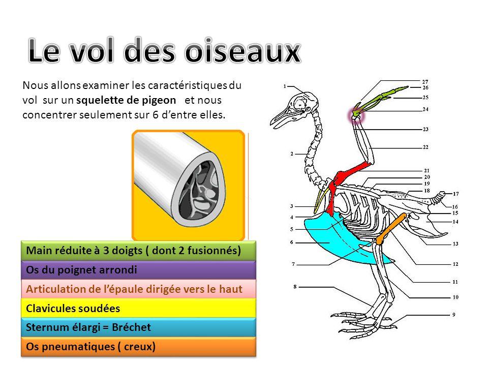 Le vol des oiseaux Nous allons examiner les caractéristiques du vol sur un squelette de pigeon et nous concentrer seulement sur 6 d'entre elles.